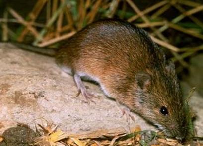 پاو وینت بررسی خسارت موش ورامین به کشاورزی